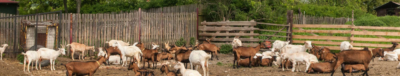 Kozí stádo v ohradě